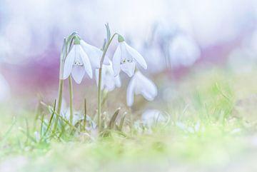 Schneeglöckchen in den ersten Frühlingstagen