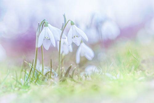 Sneeuwklokjes in de eerste lentedagen van Arja Schrijver Fotografie