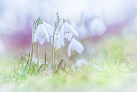 Sneeuwklokjes in de eerste lentedagen