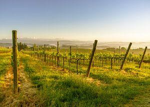Lente in een Toscaanse wijngaard van