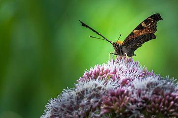 Vlinder op bloem van Cor Pot