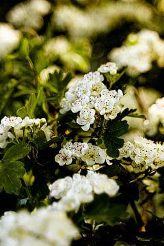Weißblühender Baum in Blüte 2 von Dieuwertje Van der Stoep