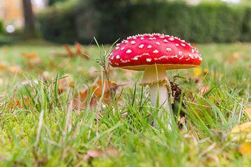 Roter Fliegenpilz im Gras im Herbst in den Niederlanden von Marc Venema