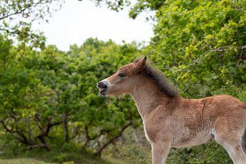 Wild paard (veulen) in de duinen van Francis Folkers