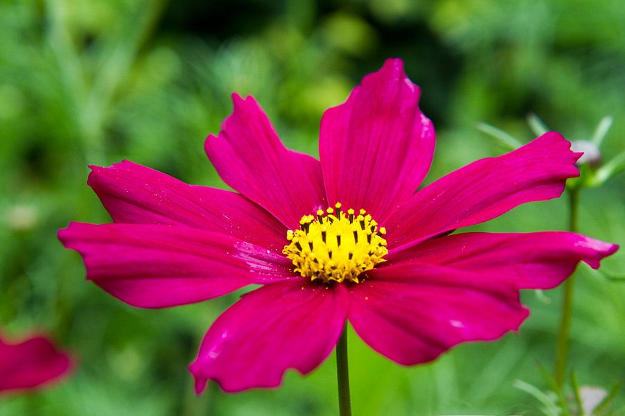 Roze bloem van Jolanda van Eek