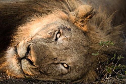 Lion Portrait  van Thomas Froemmel