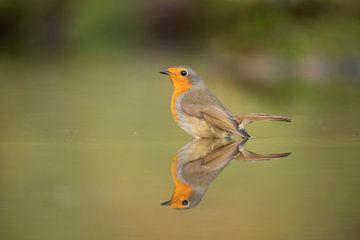 Robin, Erithacus rubecula, dans le bain sur Gert Hilbink