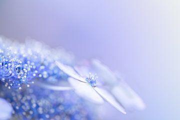 Blaue Hortensie mit zartem Pastell-Look von KB Design & Photography (Karen Brouwer)