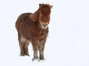 Mini paardje in de sneeuw