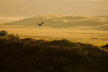 Bruine Kiekendief vliegend boven de Slufter van Beschermingswerk voor aan uw muur