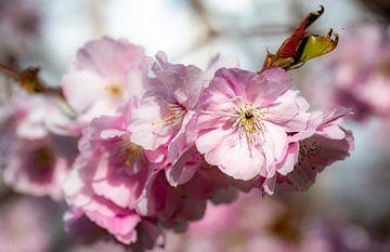 schönheit Makro Blüte der Kirsche am Zweig mit Bokeh von Dieter Walther