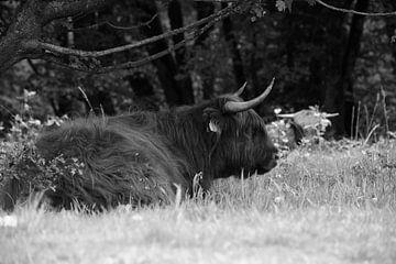 Lügender schottischer Hochlandbewohner in Schwarz-Weiß von Gerard de Zwaan