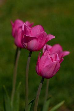 Tulpen von Holland von Jacqueline Volders