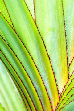 Aloe purpurea von Dirk Rüter