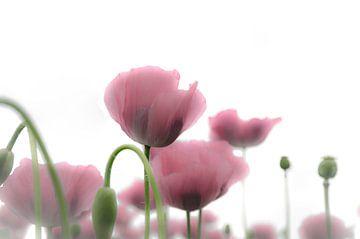 Papaverbloemen in roze van Ans Bastiaanssen