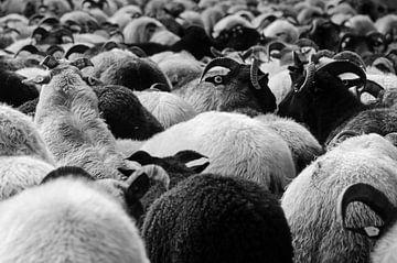 Herde von Drentse-Heide-Schafen von Latifa - Natuurfotografie