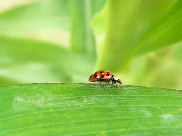 Ladybug sur Arjen Roos