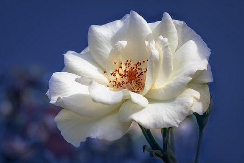 Witte roos op een blauwe achtergrond van