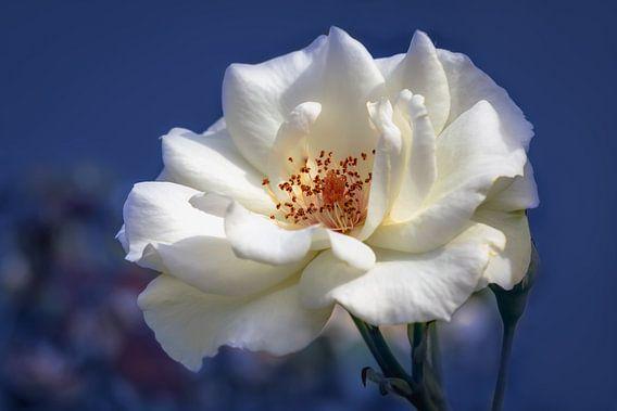 Witte roos op een blauwe achtergrond van Tim Abeln