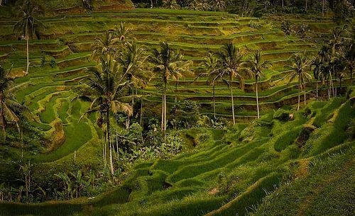 Terras rijstveld in Ubud