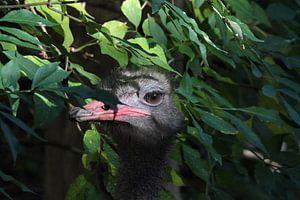 Struisvogel houdt alles in de gaten