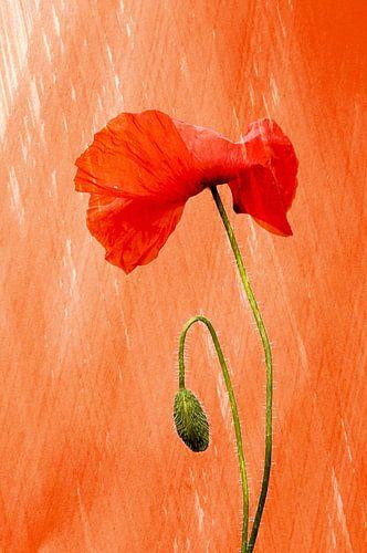 klaproos OranjeBoven van