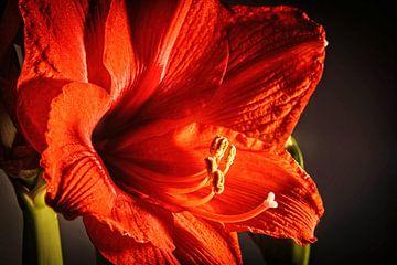 Amaryllis von Rob Boon