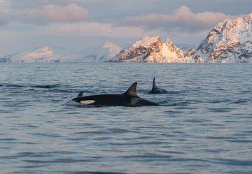 Orca von Merijn Loch