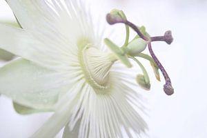 Witte passiebloem