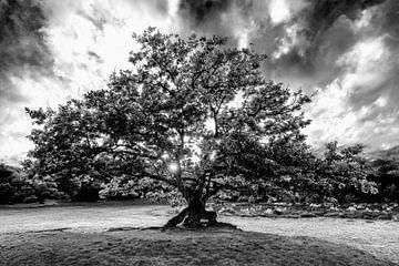 Baum Bakkeveense Dünen mit Sonnenausbruch in schwarz-weiß von R Smallenbroek