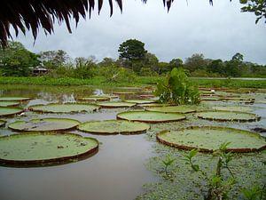 Lelies in de Amazone
