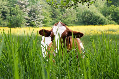 wat zie ik? Nieuwsgierige koe nabij Halder - Sint-Michielsgeste