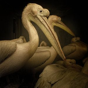 Pelicans van