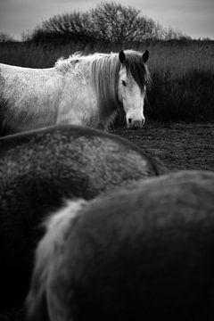 Pferde in Schiermonnikoog I von Luis Fernando Valdés Villarreal Boullosa