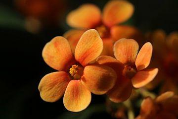 Orangene Blumen von Pim van der Horst