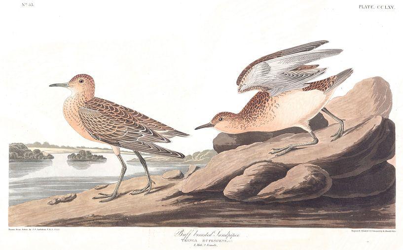 Blonde Ruiter van Birds of America