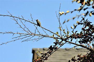 Kolibrie op tak van Lisanne Rodenburg