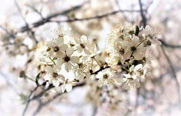 Bloesem, wit, , Blossom white,  blühen weiß von Ina Roke