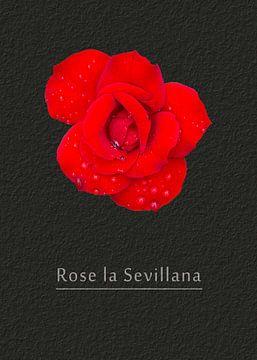 "Rose ""La Sevillana"" von Leopold Brix"