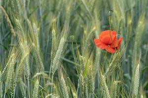 Klaproos in het korenveld van