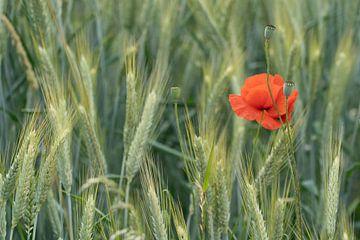Klaproos in het korenveld van Diana Kors