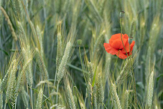 Klaproos in het korenveld