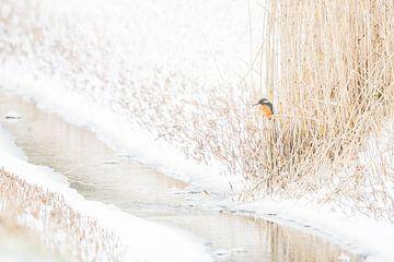 Texelse IJsvogel in winterse omstandigheden van Danny Slijfer Natuurfotografie