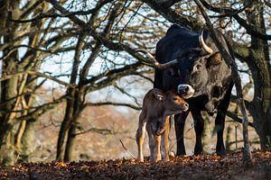 Spaans runderkalfje met moeder bij de Oude Reemst