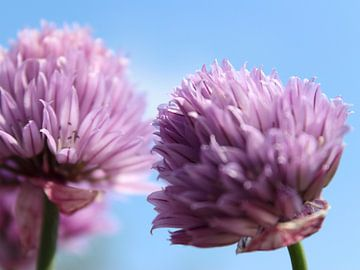 Lila/rosa Schnittlauchblüten mit blauem Himmel von Monrey