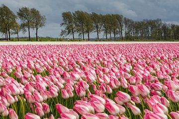 Felder voller schöner holländischer Tulpen im Polder von Fotografiecor .nl
