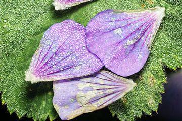 dauwdruppels op bloemblaadjes van