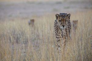 Op zoek naar... cheetah met kleintjes