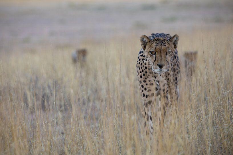 Op zoek naar... cheetah met kleintjes van Sharing Wildlife