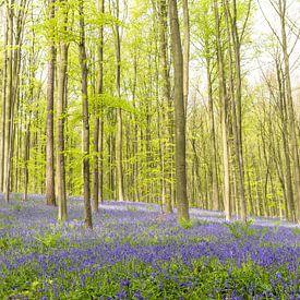 Bluebell fleurs dans une forêt de hêtres pendant une matinée de printemps sur Sjoerd van der Wal